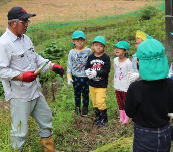 仁多米の稲刈りを園児が体験!